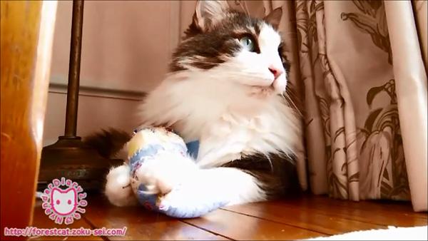 猫動画 ノルウェージャンフォレストキャット